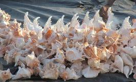 Havstrumpetsnäckan shoppar in royaltyfri bild
