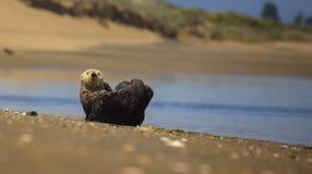 Havsutter Fotografering för Bildbyråer