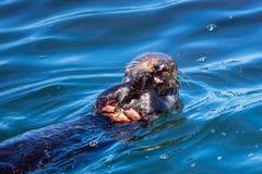 Havsutter som äter en krabba Arkivfoton