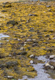 Havsväxt över lågvattenhandfatet Royaltyfri Fotografi