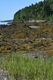 Havsväxt beströdd strand och kustlinje på en ö i Maine arkivfoto