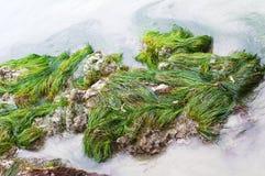 Havsväxt i Stilla havet Arkivfoto