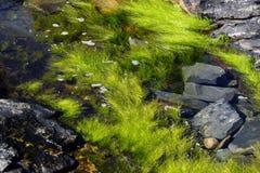 Havsväxt och brunalg royaltyfria foton