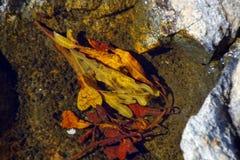 Havsväxt och brunalg royaltyfri fotografi
