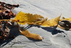Havsväxt och brunalg på sand med fotspår Royaltyfri Fotografi