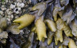 Havsväxt och långhalsar Arkivfoton