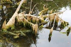 Havsväxt på ett stupat in i det döda trädet för vatten Arkivfoto