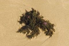 Havsväxt på sandig bakgrund Royaltyfria Bilder