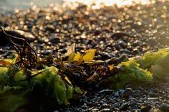 Havsväxt på stranden backlit av inställningssolen, gnistrandet av våta kiselstenar bakom royaltyfri fotografi