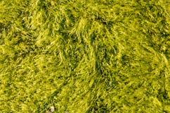 Havsweed arkivfoton