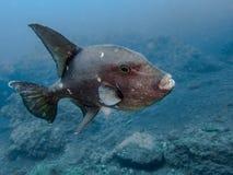 Havtriggerfish - kanariefågelöar Arkivbild