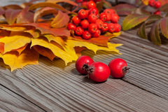 Haw in autumn composition Stock Image