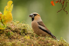 Haw finch in light Royalty Free Stock Photography