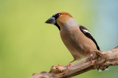 Haw finch look Stock Images