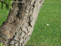 Hawaï liziard op boom stock afbeelding