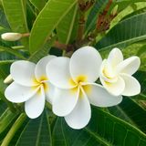 Hawaian flower frangipani plumeria Royalty Free Stock Photos