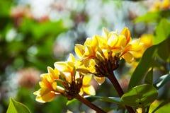 Hawaian flowers Royalty Free Stock Photo