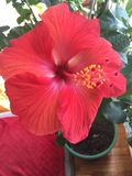 Hawaiansk blomma Royaltyfri Fotografi