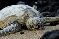 hawaiansk havssköldpadda Arkivbild