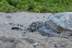 hawaiansk havssköldpadda Royaltyfri Foto