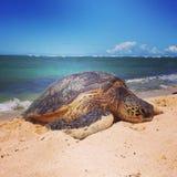 Hawaiansk havssköldpadda på stranden Arkivbild