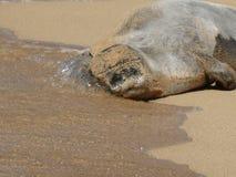 Hawaiansk munk Seal Arkivbild