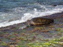 hawaiansk sköldpadda Arkivfoto