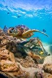 Hawaiansk sköldpadda för grönt hav som kryssar omkring i det varma vattnet av Stilla havet royaltyfri foto