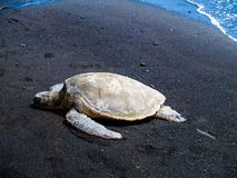 Hawaiansk sköldpadda för grönt hav som solbadar på stranden Royaltyfri Foto