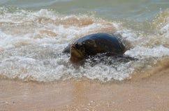 Hawaiansk sköldpadda för grönt hav upp för luft arkivbilder