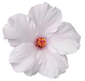 Hawaiansk vit hibiskus som isoleras på vit Arkivbilder