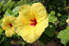 Hawaianska blommor, hibiskus Arkivbild