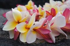 Hawaianska färgrika PlumeriaLei arkivfoton