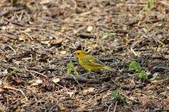 Hawaianska fåglar, familj av Zosteropidaen Fotografering för Bildbyråer