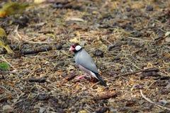 Hawaianska fåglar, Java Sparrow Arkivbilder