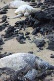hawaianska havssköldpaddor Arkivbild