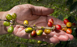 Hawaianska kaffebönor. Fotografering för Bildbyråer