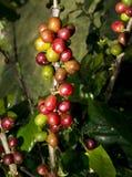 Hawaianska kaffebönor. Arkivfoto