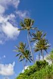 Hawaianska palmträd Arkivbild