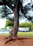 Hawaianska träd Royaltyfri Bild