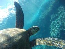 Hawaianskt simma för havssköldpadda som är undervattens- Arkivfoton
