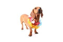 Hawaii aloha dog Royalty Free Stock Photography
