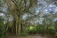 Hawaii banyan tree and foliage in Hana maui. Hawaiian foliage grows in Hana maui Royalty Free Stock Photography