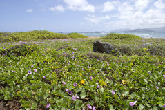 Hawaii Beach with Purple Pohuehue Flowers Royalty Free Stock Image