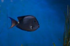 Hawaii-Borstenzahndoktorfisch Stock Image