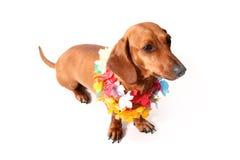 Hawaii dachshund Royalty Free Stock Photo