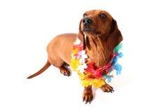 Hawaii dog Stock Photos