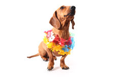 Hawaii dog pose Royalty Free Stock Photo
