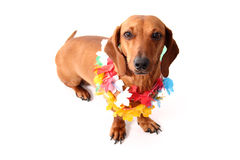 Hawaii dog style. An isolated dachshund on a white background. Hawaii theme Royalty Free Stock Photos