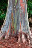 Hawaii Eucalyptus Rainbow Tree Stock Images